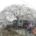 気象予報士が案内する京都のおすすめの桜ツアー開催!