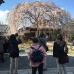 京都市上京区近辺で桜めぐり!本満寺や京都御苑など春の京都を満喫ツアー開催しました!