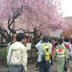 この春最高の桜。全て満開の京都桜ミステリーツアー。上京区近辺で開催しました!