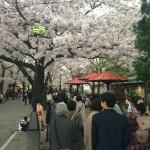 満開の桜が咲き誇る夕暮れの祇園を散策!東山区の南座からスタートするツアー