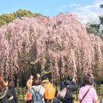 この時期に満開の桜ツアー!桜ミステリーツアーと桜餅ツアー開催