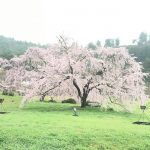 息が止まりそうになるほど美しい桜を見学!京都嵯峨嵐山駅から徒歩で穴場スポットへ
