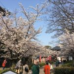 桜満開の京都!ミステリーツアーを開催しました